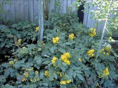 "Creeping Oregon Grape--low (2ft) ground cover with yellow flowers or purple ""berries"" (Native High Dessert Plant)"