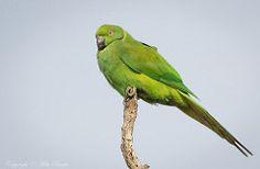 Echo Parakeet (Psittacula eques)