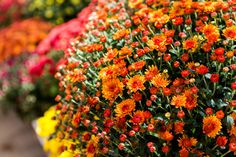 Keep Your Potted Mums Thriving This Fall