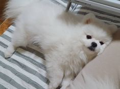 Cute Little Animals, Cute Funny Animals, Cute Puppies, Dogs And Puppies, Cat Dog, Fluffy Dogs, Pomeranian Puppy, Cute Creatures, Animals And Pets