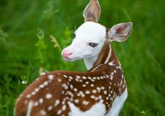 Meet Dragon, a white faced fawn, who had to be bottle fed due to being rejected by her mother at a northern Kent County  farm.