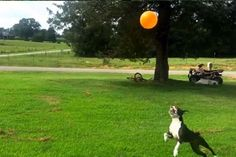 Balloon-Bopping Boston Terrier Will Chase Away Your Sorrows | WOOFipedia by The American Kennel Club