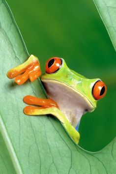 My favorite frog--the red-eyed tree frog. Lol this just reminded me of the time I talked my grandparents into buying me a frog calendar lol. Beautiful Creatures, Animals Beautiful, Funny Frogs, Cute Frogs, Animals And Pets, Cute Animals, Nature Animals, Wild Animals, Baby Animals