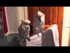 Cockatoo starts messing with his little brother during an Elvis song.