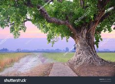 Spring meadow roots of one big tree with fresh green leaves grass field at sunset sky with could landscape background. Grass Field, Landscape Background, Big Tree, Sunset Sky, Fresh Green, Tree Of Life, Green Leaves, Roots, Photo Editing