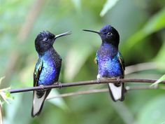 The Velvet-purple Coronet (Boissonneaua jardini) is a species of hummingbird in the Trochilidae family. It is found in humid foothill forest on the West Andean slope in western Colombia and north-western Ecuador.