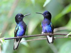 Velvet-Purple Coronets