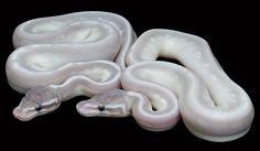 Panda Pied Ball Python | Magnifique Python Royal - Photos de vos animaux - Le monde des ...