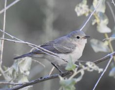Lucy's Warbler (27)