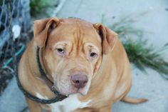 ★1/24/16 STILL WAITING★SUPER-URGENT★OLIVA - A0976347 - Brooklyn - **RETURNED 1/11/16** - FEMALE TAN/WHITE PIT BULL, 6 Yrs - OWNER SUR - ONHOLDHERE, HOLD FOR ID Reason NO TIME - Intake 01/11/16 Due Out 01/11/16 - DOG WAS QUIET, ALLOWED HANDLING
