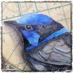 .Blue Wren.     t