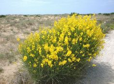 Spartium junceum - Spanish Broom Have this in the front, but it's RED :)
