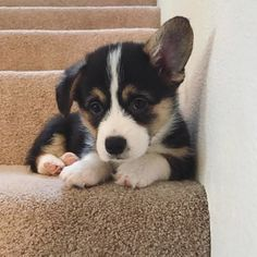 """1,409 Likes, 7 Comments - Cute Corgi (@corgicute_ig) on Instagram: """"Baker loves the stairs! He loves to play ball and run up and down the stairs. He brings such joy to…"""""""