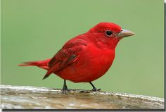 This is the bird that keeps banging into our window. It is a Summer Tanager.