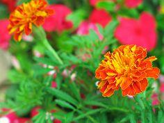 2013年7月31日(水) おはようございます!今日は1日雨かと思いきや、強い陽差しにセミの声。またまた、「ダイキ 加古川パークタウン店」さんで花を購入してきました。午前中に植えてしまいます♪ マリーゴールド&日々草が1ポッド78円。特価商品棚を見てる間、蚊に刺されまくりです(^^;  それでは、今日も皆様にとって良い1日になりますように☆ 【加古川・藤井質店】http://www.pawn-fujii.jp/