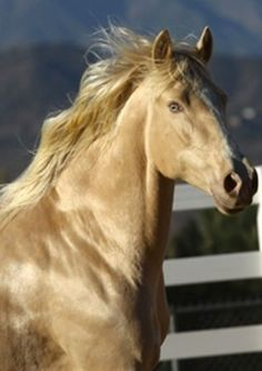 Guindaleza (aka 'Blondie'), an Iberian Palomino Pearl mare. This mare belongs to a very small group of Iberian horses that test as a single dilute (in this case Palomino) but appear to be double dilute, with bright blue/green eyes. Guindaleza was the very first Andalusian horse tested by UC Davis for the Pearl gene. She has the iridescent sheen, often seen in Pearl horses.