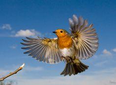 robin flying - Google Search