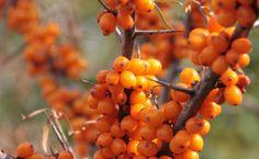 Las bayas de espino amarillo son ricas en nutrientes, especialmente en vitaminas C, A y E.