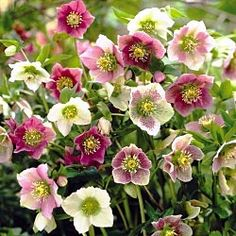 """Royal Hellebore Mix (also Lenten Rose)   Adds a burst of color to the late-winter—early-spring landscape! This easy-to-grow mix features showy flower colors and evergreen foliage that looks good all season long. Terrific for shaded borders and woodland gardens. Long-lived plants grow 15-18"""" high with a similar spread.   Light: Partial Shade to Full Shade  Bloom Time: Late Winter to Spring"""
