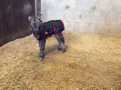 Thank You Ever So Much To Our Wonderful Customer For Sending In This Gorgeous Photo Of Her Shetland Foal His Snuggy Hoods First Rug