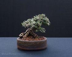 Bonsai4Me :: Bonsai from the UK