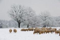 steigerwald Bayern | Flock of sheep (Ovis aries) in winter forest, lower…
