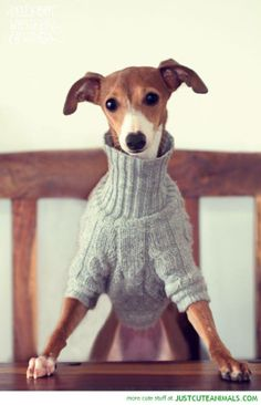 I think I have found a new obsession...Italian Greyhounds!!