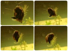 Aquarium snails for your freshwater planted tanks. Freshwater snails are a great addition to creating a nice healthy environment for your . Aquarium Snails, Nano Aquarium, Planted Aquarium, Shrimp Tank, Healthy Environment, Fresh Water, Photo And Video, Aquariums, Christmas Ornaments