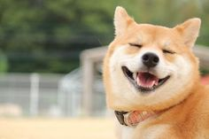 記事によると「笑いもどき」と呼ぶらしい。RT @riko_yamashita: あ・・・ありのまま 今、知ったことを話すぜ。柴犬って、こんなにいい顔で笑うんだな・・・。http://bit.ly/1CrQmWo