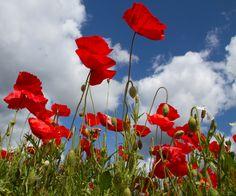 http://upload.wikimedia.org/wikipedia/commons/4/4e/Poppies_again_5_(5781808652).jpg