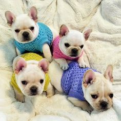 French Bulldog Puppies in Sweaters