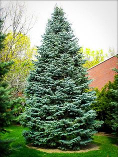 Long considered undesirable for timber, white fir (Abies concolor) is finally be… - Modern Blue Spruce, Spruce Tree, Fir Tree, Evergreen Trees, Trees And Shrubs, Trees To Plant, Evergreen Landscape, Aj Styles, Colorado