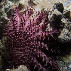 Crown  of Thorns Sea Star (Acanthaster planci) | Incredibly beautiful!