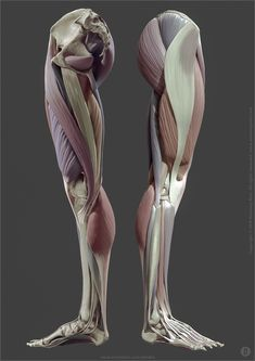 The anatomy of the human body Leg Muscles Anatomy, Leg Anatomy, Anatomy Poses, Muscle Anatomy, Anatomy Study, Anatomy Reference, Pose Reference, Human Anatomy For Artists, Human Anatomy Drawing