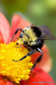 #pestcontrol Montreal photo: Bumble Bee So Bizzeeee