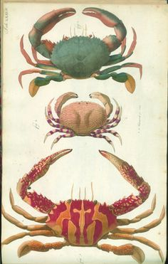 BibliOdyssey: Crustacean Atlas