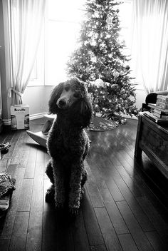 Christmas Poodle Canmore 2012