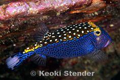 Spotted Boxfish, Ostracion meleagris
