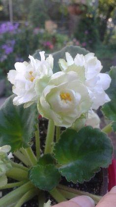 Spring Rose- photo by Elisa Allen