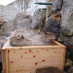 Kingdom Onsen Capybara No Yu - Japan Hot springs with capybaras
