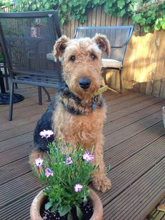 Airedale - Dora, my lovely dog x