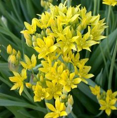Allium moly luteum 100 Planted between posts inside of west fence Oct 16 2015 Light Bulb Plant, Colored Light Bulbs, Spring Plants, Planting Bulbs, Bulb Flowers, Allium, Flower Seeds, Yellow Flowers, Tulips