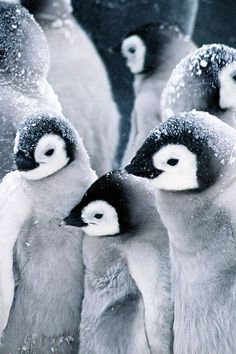 Puffy penguins.