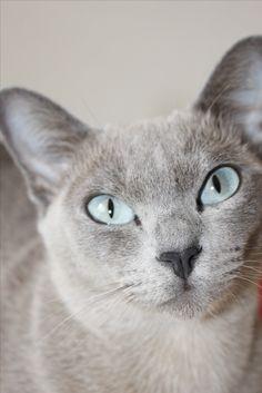 Jaya-Jyoti du Bois de Gury, blue solid tonkinese, 25 months old