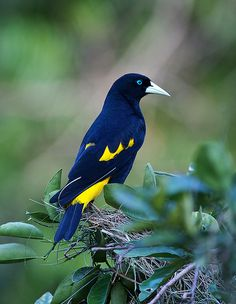 The 'Yellow-rumped Cacique' is a passerine bird in the New World family Icteridae. It breeds in much of northern South America from Panama and Trinidad south to Peru, Bolivia and central Brazil.