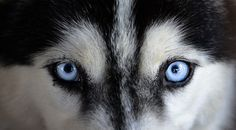 Wonderful All About The Siberian Husky Ideas. Prodigious All About The Siberian Husky Ideas. Dog Training Methods, Basic Dog Training, Dog Training Techniques, Training Your Puppy, Training Dogs, Siberian Husky Puppies, Siberian Huskies, Alaskan Dog, Husky With Blue Eyes