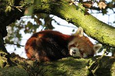 red panda sleeping - Google Search