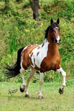 Campolina horse, Brazil.  The Campolina is one of the larger Brazilian breeds, and may be found in any color. They are a gaited breed, with an ambling gait.