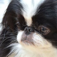 Japanese Chin Puppies, Japanese Dogs, Pekingese Puppies, Purebred Dogs, Chihuahuas, Worlds Cutest Animals, Cute Animals, Cute Puppies, Cute Dogs