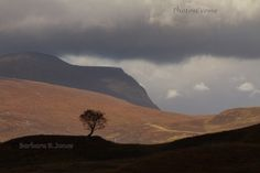 Quinag Rowan Tree, silhouette. Inchnadamph. Assynt. Scotland.